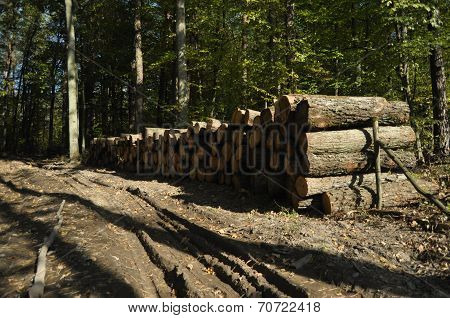 Felling Of Trees And Storage Before Shipment. Wood Cut Into Pieces.