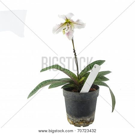 Paphiopedilum Flower - Tropical Orchid