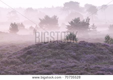 Misty Morning Over Hills With Heather