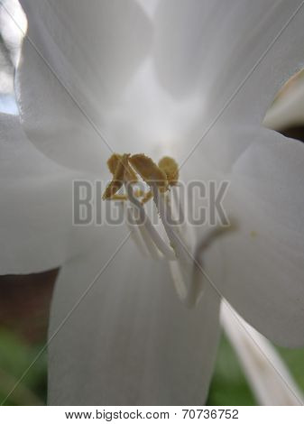 Yellow lilly stamens