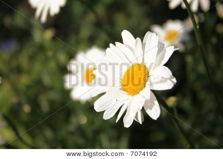 Camomile Flower In Front Of Blurry Background