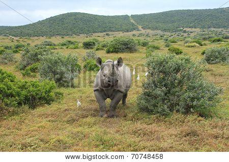 Solitary Black Rhino