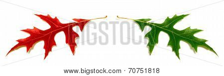 Red And Green Oak Leafs (quercus Palustris) Isolated On White Background