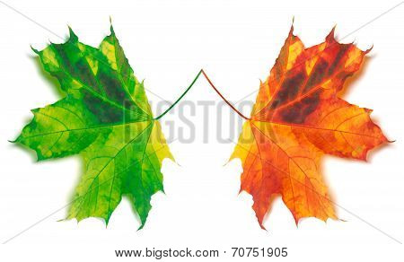 Orange And Green Yellowed Maple-leafs