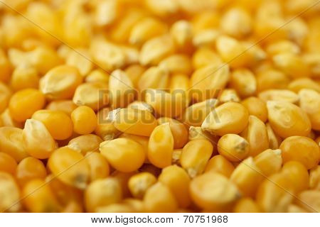 Wholesome dried corn kernels, or unpopped popcorn kernels,  with depth of field.