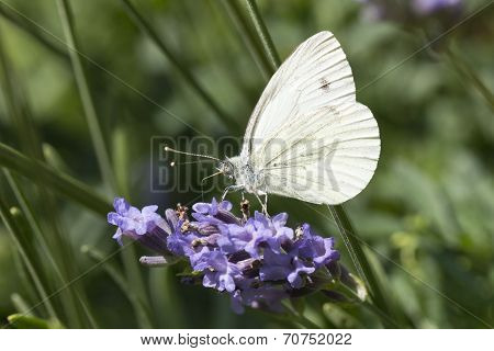 Cabbage Butterfly on lavender