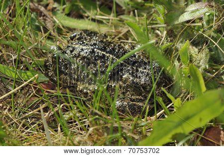 Natterjack Toad