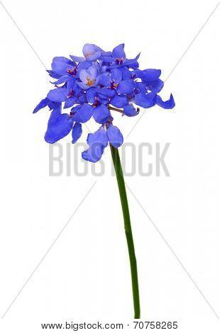 blue Hesperis flowers isolated on white background