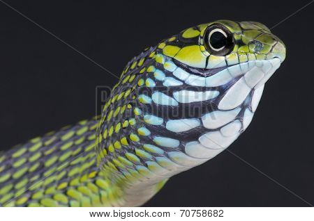 Dagger-tooth snake / Rhamnophis aethiopissa