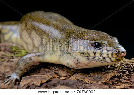 Giant water skink / Amphiglossus reticulates
