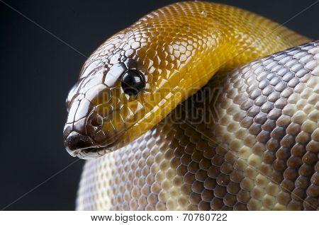Woma python / Aspidites ramsayi