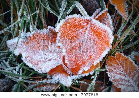 Aspen leaves in the frost