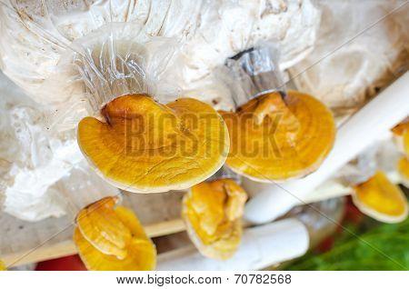 Lingzhi,ganoderma Lucidum Mushroom
