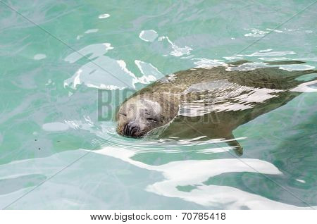 Sea Lion swimming on the water