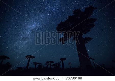 Starry sky and baobab trees. Madagascar