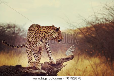 Leopard in African bush