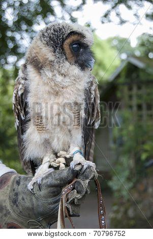 Malaysian Wood Owl