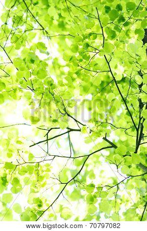 Green linden spring bright leaves background