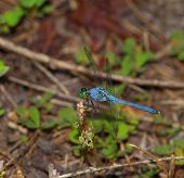 stock photo of stick-bugs  - Green headed dragonfly with a blue body on a stick - JPG