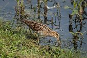 stock photo of snipe  - A Snipe UK wading bird feeding at the edge of a lake - JPG
