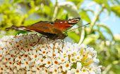 stock photo of butterfly-bush  - A beautiful Peacock butterfly feeding on a Buddleja bush flower - JPG