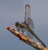 stock photo of stick-bugs  - Green and blue eyed dragonfly at the top of a stick - JPG