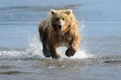 stock photo of omnivore  - Grizzly Bear fishing in coastal waters - JPG
