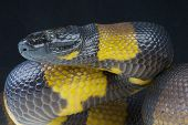 stock photo of papua new guinea  - The Bismarck ringed python is endemic to the Bismarck islands - JPG