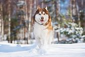 stock photo of husky sled dog breeds  - brown siberian husky dog outdoors in winter - JPG