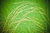 pic of rice  - Thailand has a strong tradition of rice production - JPG