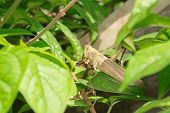 stock photo of amputee  - Without one leg locust eating dried leaves - JPG