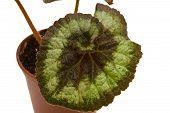 foto of begonias  - decorative foliage plant begonia on white background - JPG