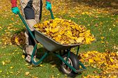 picture of dungarees  - A man with a wheelborrow full of autumn leaves in a garden - JPG