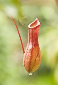 stock photo of nepenthes-mirabilis  - closeup of nepenthes villosa  - JPG