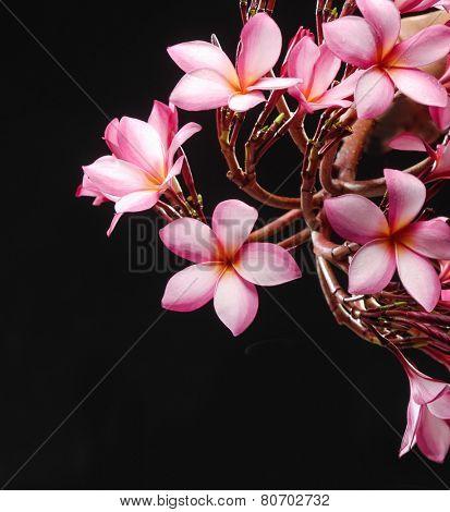 Glorious branch frangipani or plumeria flowers on black background