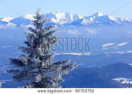 frozen pine tree on Tatra Mountain background, Slovakia