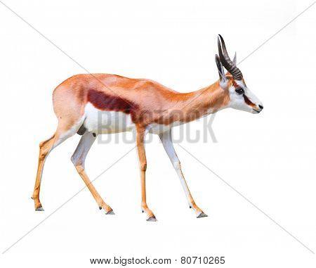 The Springbok Antelope (Antidorcas marsupialis).
