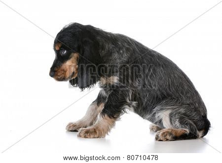 naughty puppy - english cocker spaniel puppy with disappointed expression on white background