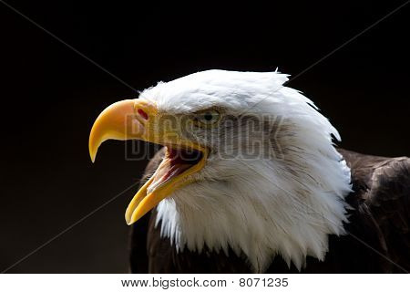 Bald Eagle With Beak Open