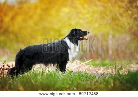 Young Black And White Border Collie Dog