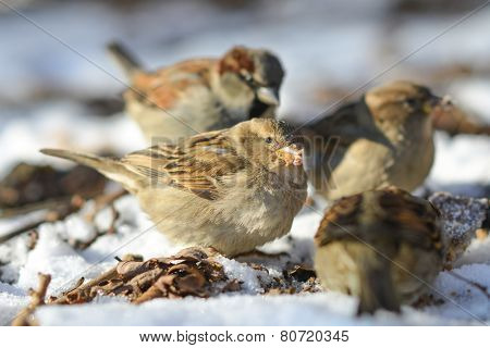Sparrows eat remnants of a rotten apple in snow