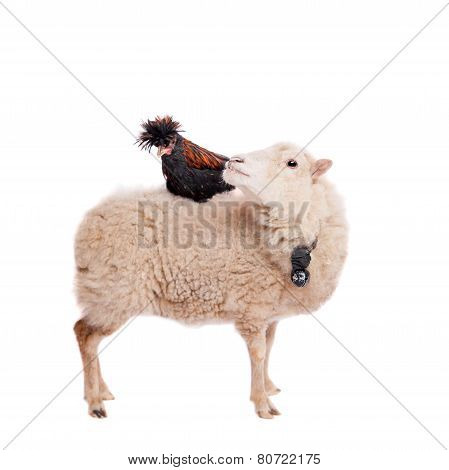 Black rooster on sheep