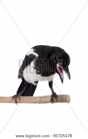 Common Magpie isolated on white