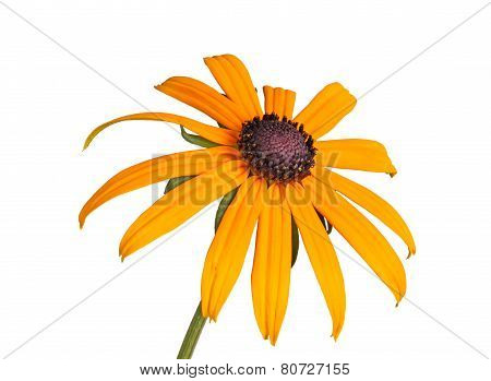 Single Compound Flower Of A Rudbeckia Isolated On White