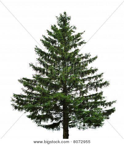 Single Fir Tree