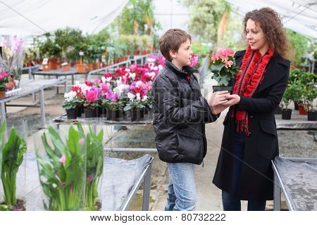 Boy gives mother a flower pot with blooming begonia in the greenhouse