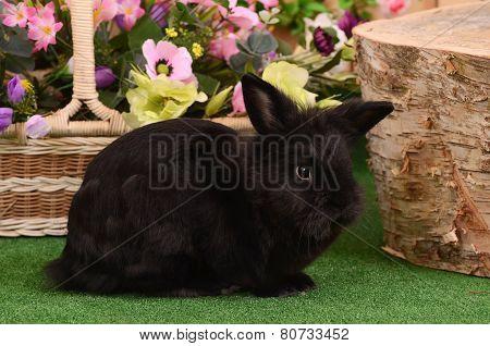 The Black Little Rabbit