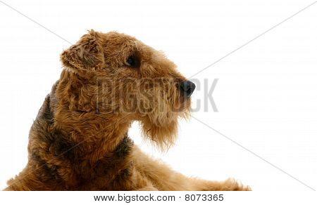 Perro Airedale levantando
