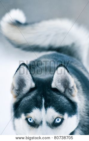 Siberian Husky Dog  In Winter
