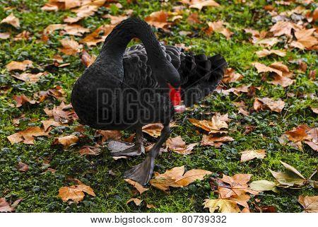 Black Swan in park